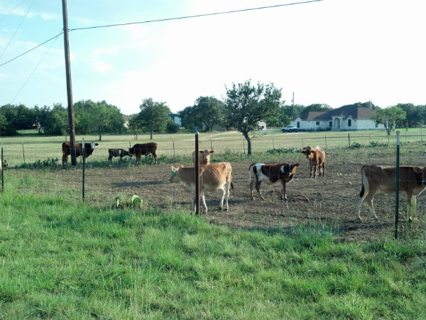 IMG_20130830_182827_169cow