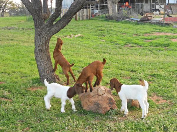 Goats 2016 005goats