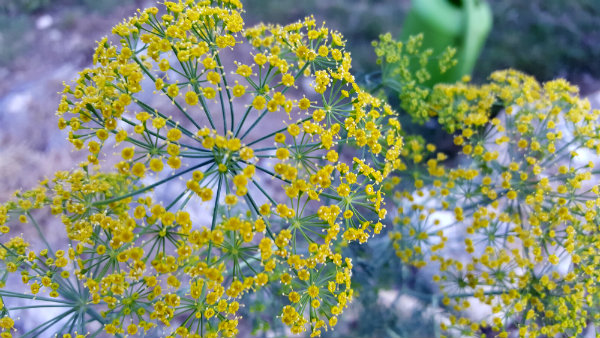 20160623_194552dill